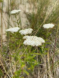 Asteraceae - Achillea millefolium - Yarrow