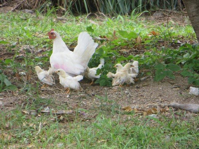 Курицы, как голуби