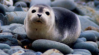 Seal harbor animal pictures_Phoca vitulina