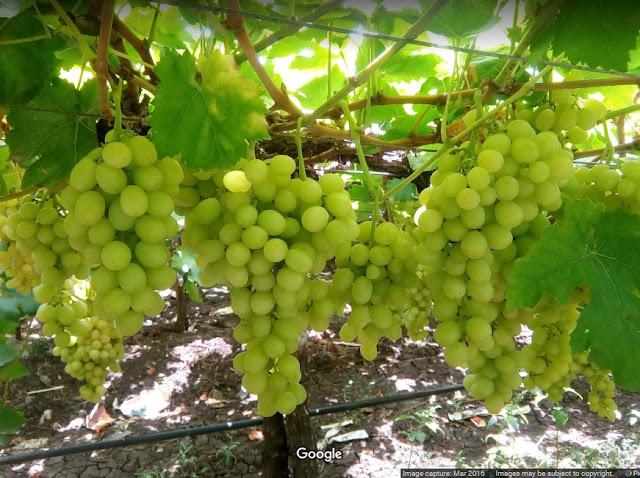 Grapes Photo Gallery - Sayyad Farm