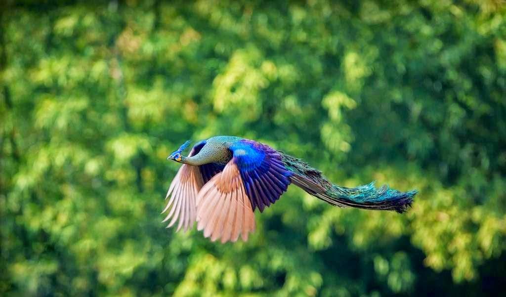 Unduh 410+ Foto Gambar Burung Merak Terbang HD Paling Unik