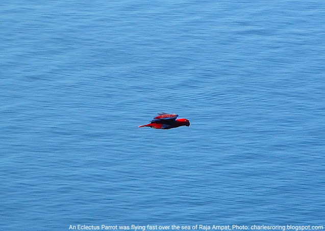 Eclectus Parrot was Flying Over the Sea