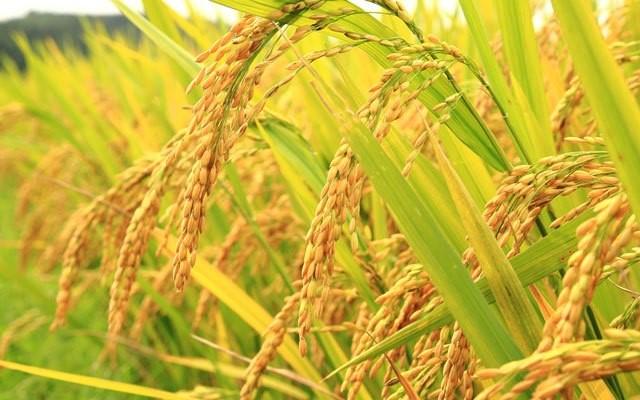 Đại lý gạo Nam Định