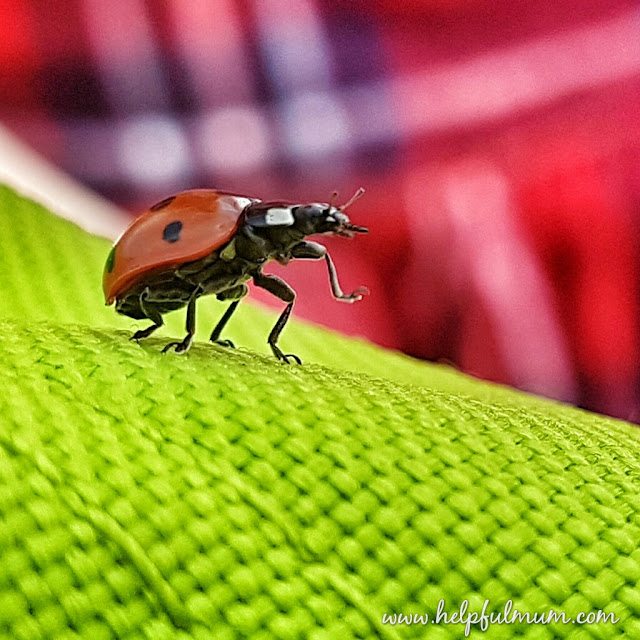 Ladybird waving