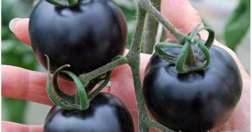 Tomato Pelik Berwarna Hitam Ditemui - Lalalal-4629