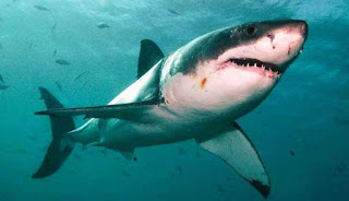 Jenis Ikan Hiu Yang Dapat Di Pelihara Di Aquarium