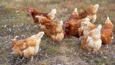 هولندا تعدم الألاف من الدجاج بعد رصد سلالة شديدة العدوى من إنفلونزا الطيور