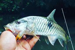 Umpan Pas Mancing Ikan Palung Hampala Hampal Ampuh Umpan Ikan Palung