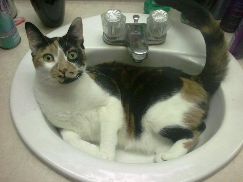 To Da Loos More Cats In Sinks