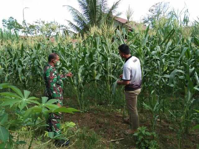 Dukung swasembada pangan, Babinsa Jantho dampingi petani jagung