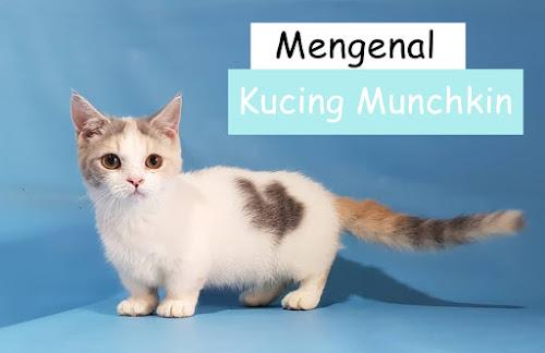 Jual Kucing Munchkin