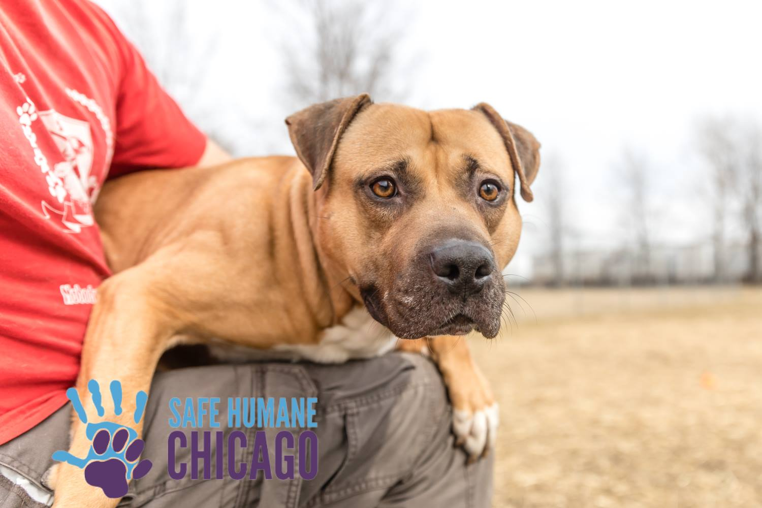 Honey Pot, Safe Humane Chicago Court Case Dog is lap dog