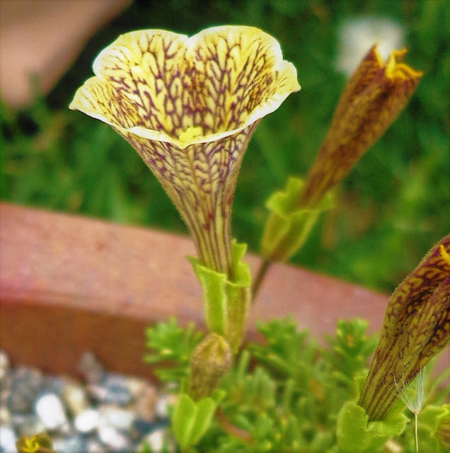 Petunias, Patagonia, the Pampas and Politics:: a meditation