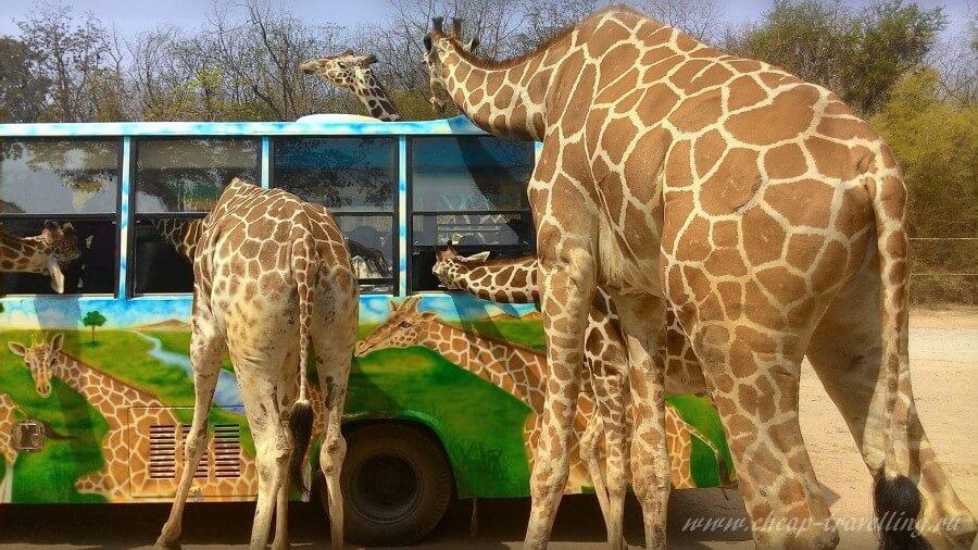 Жирафы в сафари-парк Канчанабури
