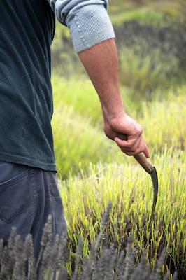 Harvesting Fresh Organic Lavender for Lavender Essential Oil at Pelindaba Lavender Farm