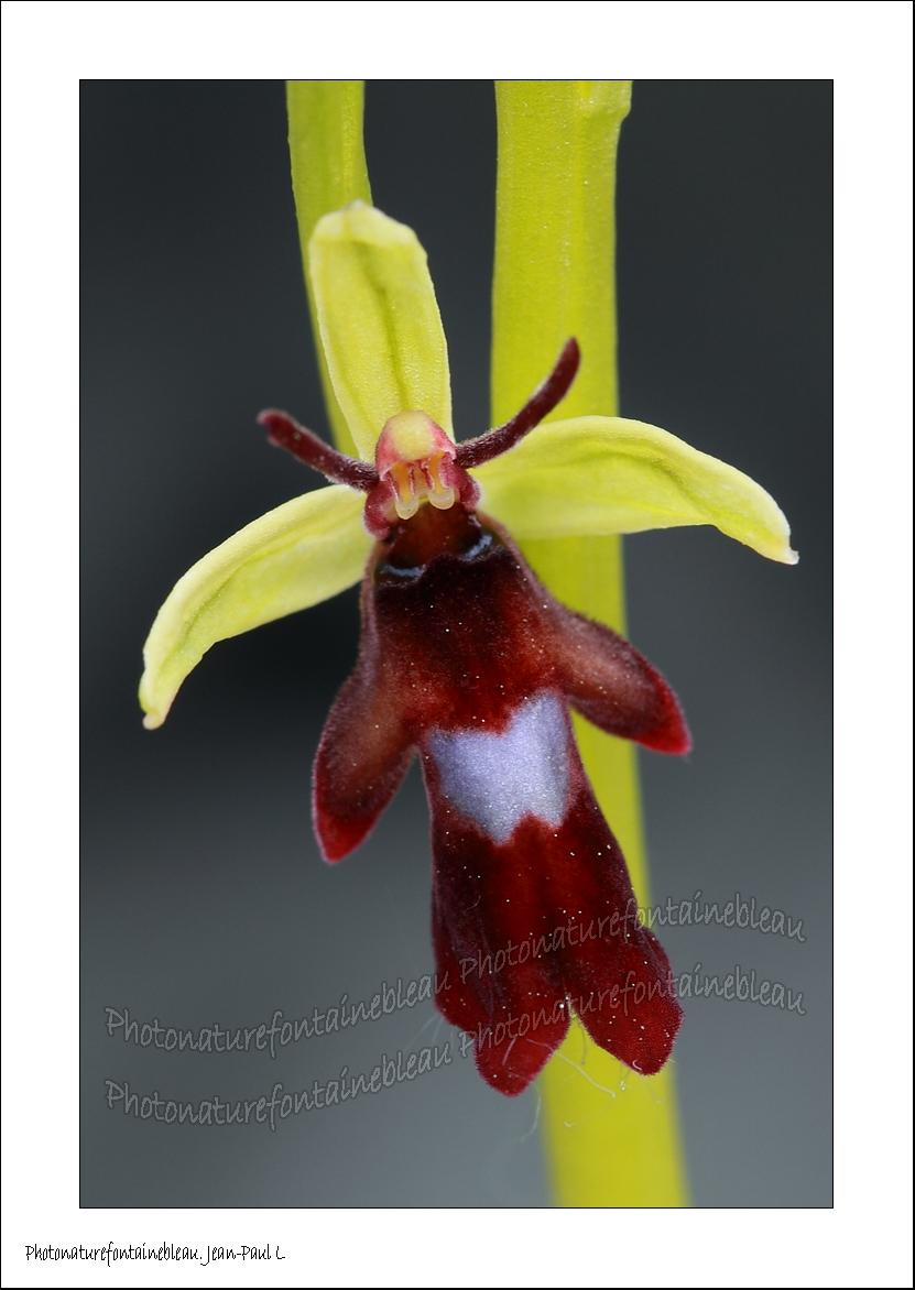 orchidee sauvage seine et marne