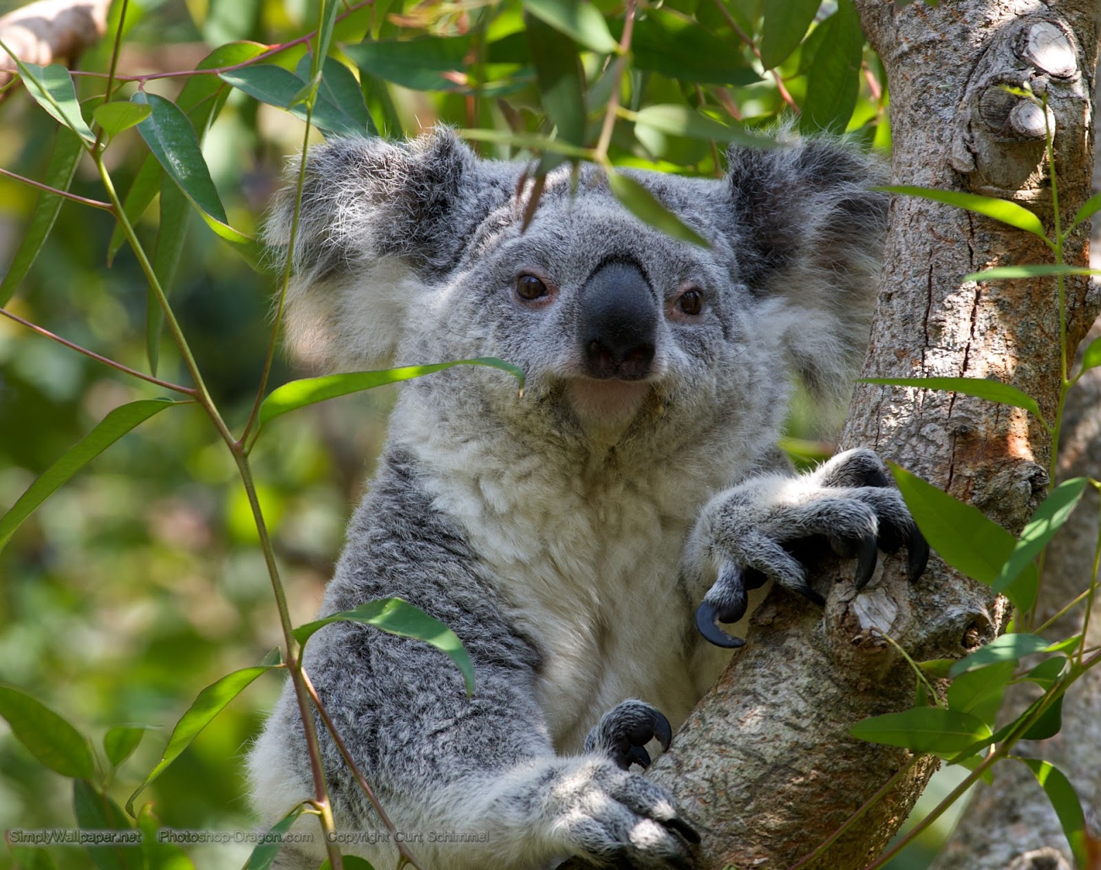 Cute Wombat Wallpapers Hd Wallpapers Desktop Wombat Hd Wallpapers