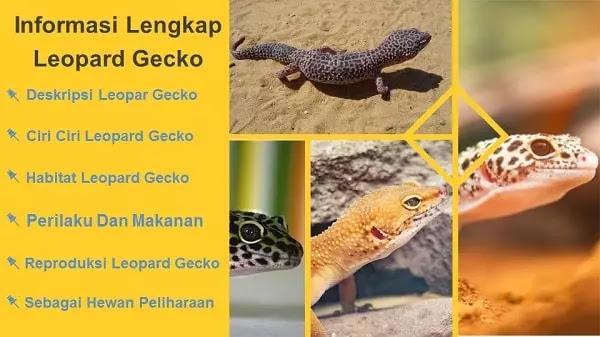 Leopard Gecko Atau Tokek Leopard