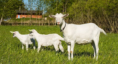 Best Goat Breeding guidelines for beginners