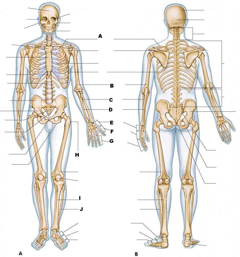 Muscle Anatomy Quiz Coordstudenti