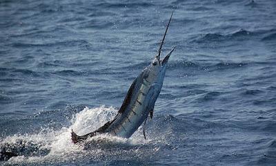 Ikan sailfish