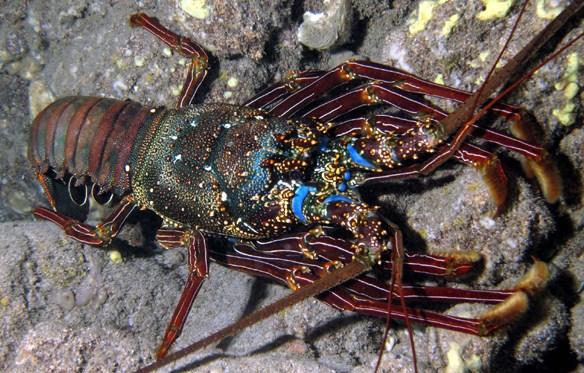 Panulirus Peniculatus - Mengenal Lobster Air Laut Dan Cara Budidayanya