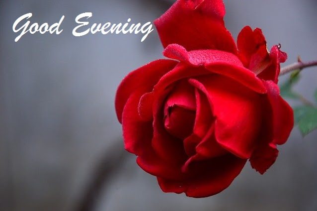 good evening images with rose
