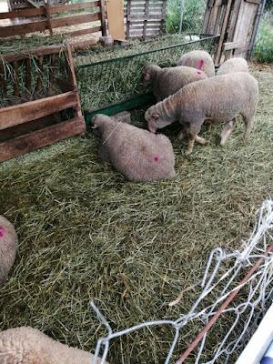 Koyunların en sevdiği yiyecek