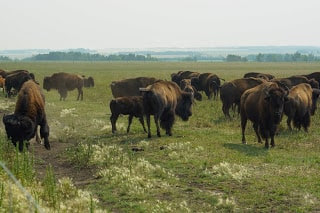 bison meaning in hindi