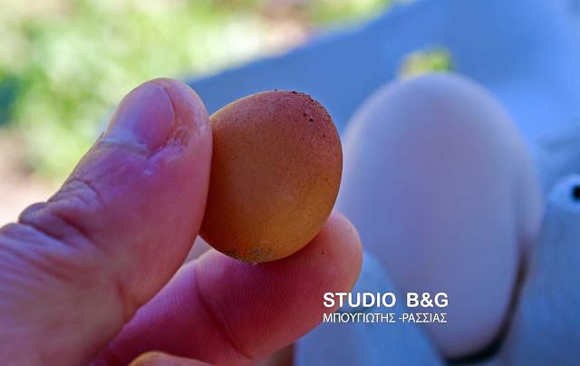 Μινιατούρες αυγά γεννάει κότα σε χωριό του Ναυπλίου (βίντεο)