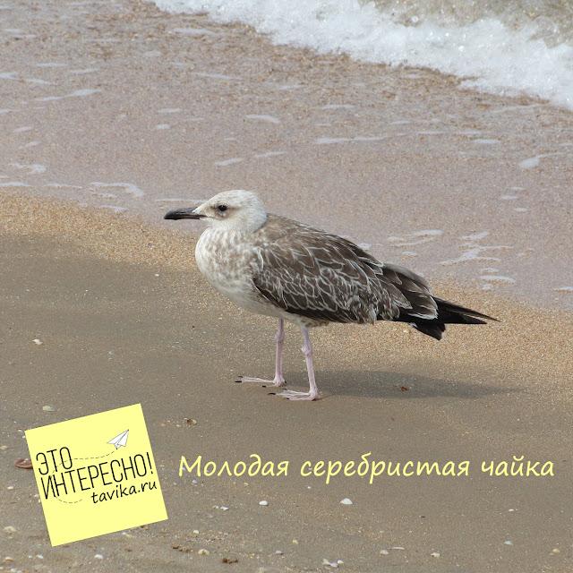 серебристая чайка, Крым