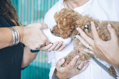 A small, brown fluffy dog drinks from a bowl held by a pair of hands