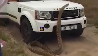 Dikejar ular piton Afrika raksasa