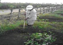 Gambar Penyiangan gulma pada kawasan tanaman penutup tanah