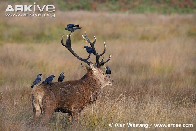 deer with crows