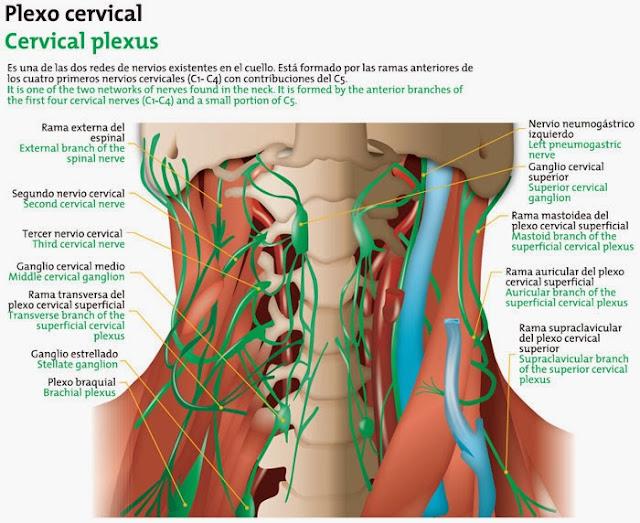Plexo cervical ubicado en el cuello