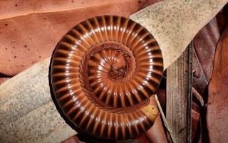 millipede myriapod