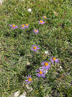 [Asteraceae] Aster alpinus – Blue Alpine Daiy (Astro alpino)