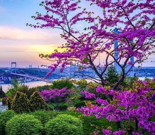 Erguvan ağacı Nerede yetişir Erguvan ağacı Hikayesi Erguvan ağacı Ne Zaman çiçek açar