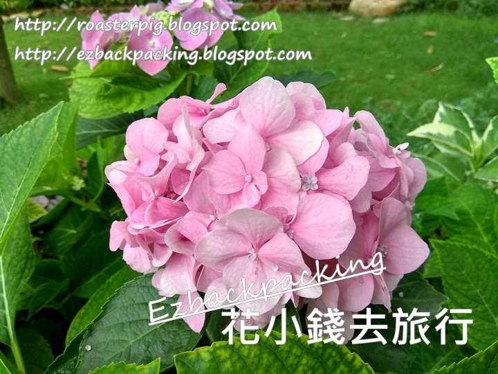 香港紫陽花