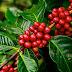 Produção de 37 milhões de sacas de café arábica no Brasil ocupa área de 1,47 milhão de hectares em 2019