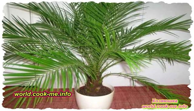 Как выращивать пальмы в домашних условиях