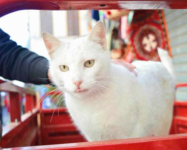 white cat tangier