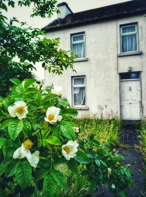 wild roses blossoming, deserted house