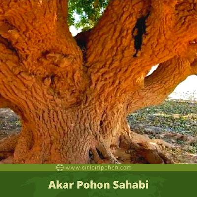 Akar Pohon Sahabi