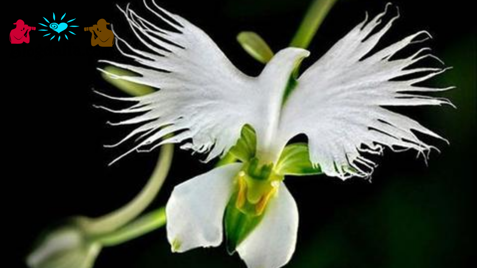 White Egret Orchids