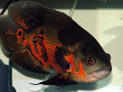 Fish Wallpapers: Oscar Fish