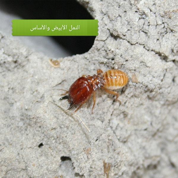 كيف يمكن للنمل الأبيض تدمير أساسات المنازل؟