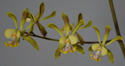 Encyclias, Oncidium, orchid plants with flowers