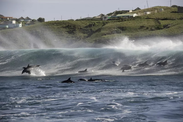 Bottlenose dolphins playing in the surf off the Transkei coast
